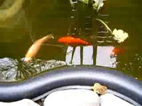 Goldfische teich uwe youtube for Goldfische teich sauerstoff