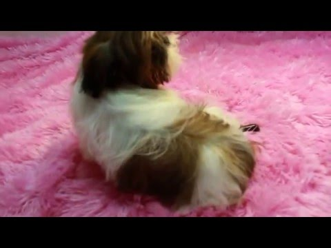 RED & WHITE IMPERIAL SHIH TZU PUPPIES FOR SALE IMPERIAL SHIH TZU