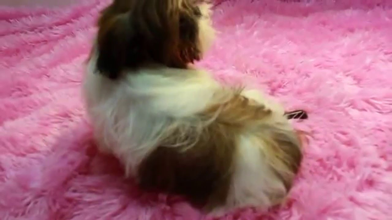 Red White Imperial Shih Tzu Puppies For Sale Imperial Shih Tzu