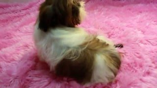 Red & White Imperial Shih Tzu Puppies For Sale Call 334-289-0682 Imperial Shih Tzu