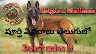 Belgian Malinois పూర్తి వివరాలు తెలుగులో