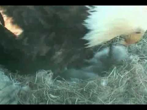 Bald Eagle Cam Shows 2 hatched babies, one more to go, feeding time