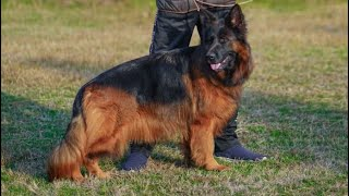 LongCoat Top Quality Pedigree German shepherd puppies Available   Best in Blood line n Pigmentations