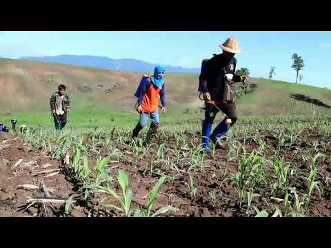 จ.ตาก หนอนกระทู้ ระบาดหนัก กัดกินต้นข้าวโพด เกษตรกร ทนดูไม่ไหว หาซื้อยาฆ่าแมลง ลงแขกช่วยกัน..ฉีดพ่นย