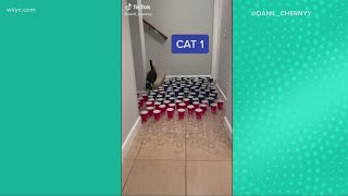 Check this out!  Cat owner sets up obstacle course with cups
