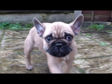 French Bulldog Puppy meets our Boxer dog for the first time