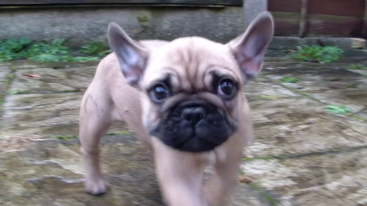 Honey French Bulldog