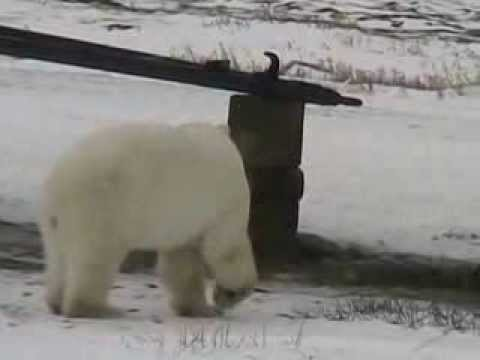 Best of Polar Bears of Churchill Produce