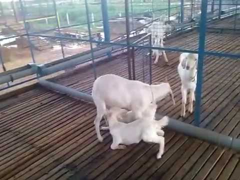 No Buyers for Tellicherry & Boer goat Bread in Tamilnadu