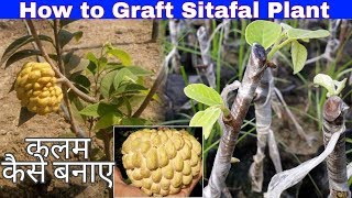 How to Custard Apple Grafting in Hindi Step by Step (Sitafal Grafting)