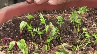 How to Grow Carrots in Planters : Raised-Bed Gardens