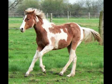 Paint Horses for sale from YouTube · High Definition · Duration:  1 minutes 54 seconds  · 16.000+ views · uploaded on 26.02.2012 · uploaded by 0077marg