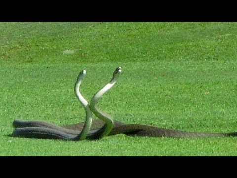 14th Hole's a Killer: 2 Deadly Snakes Fight in Golf Course Video