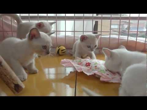 トンキニーズ Tonkinese Kittens (Female/5) born 07/28/2012.#5