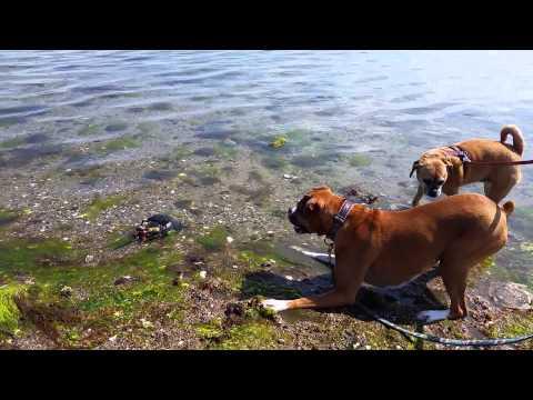 Sky the Boxer Dog vs. Horseshoe Crab