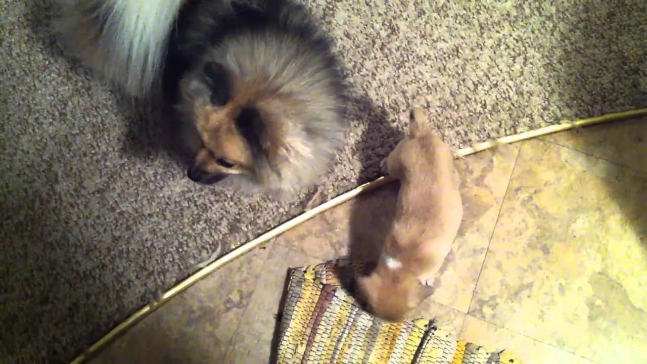 New chiweenie puppy, 8 weeks old. - YouTube