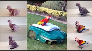 How  a baby  Scarlet  Macaw grows up !
