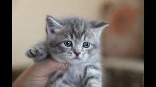 ЧТО БУДЕТ,ЕСЛИ скрестить домашнюю кошку с персидским котом
