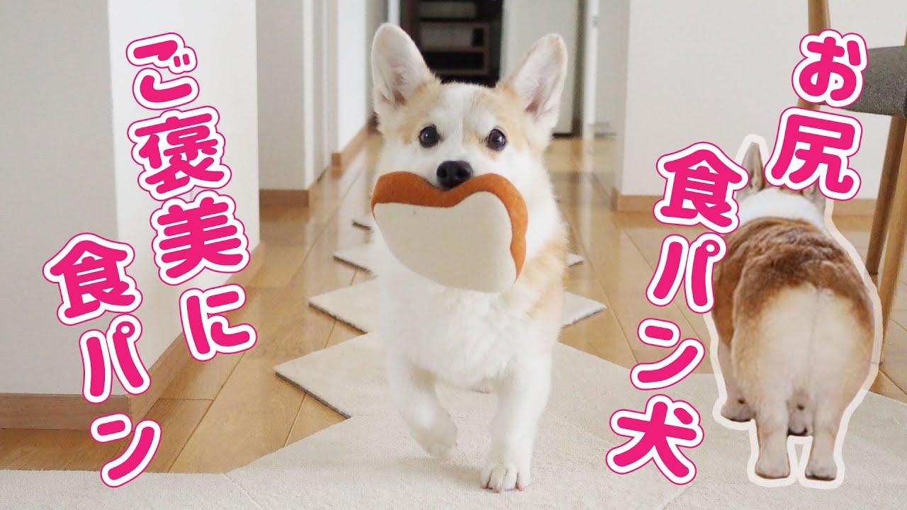 ノエ さん 犬 コーギー