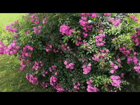 Кустовые розы, обрезка