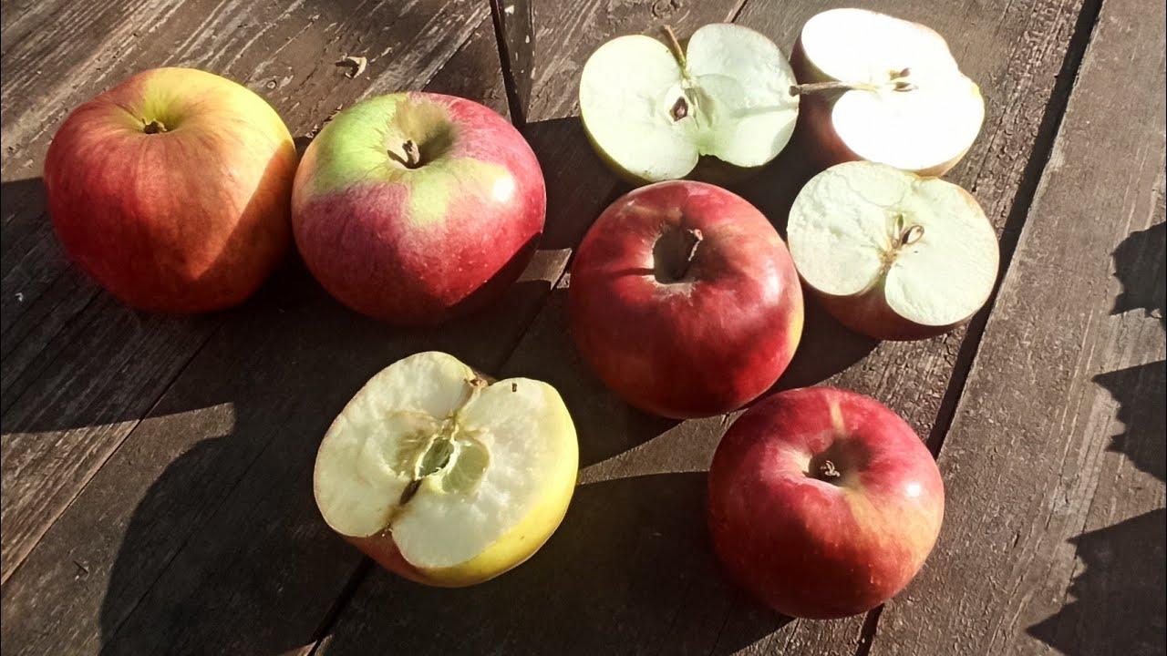 Обзор и дегустация 4 сортов зимних яблок. Лобо, Орлик, Московское Зимнее, Первоуральское.