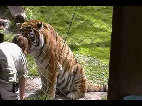 Siberian Tiger Feeding Exhibit At The Bronx Zoo