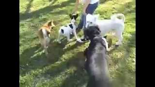 Dallas Dog Training | Redeeming Dogs | Roo The Shiba Inu Puppy Socialization