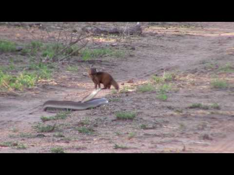 Black mamba vs Dwarf mongoose