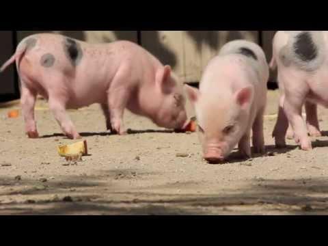 Kleine Schweinchen im Erlebnis-Zoo Hannover