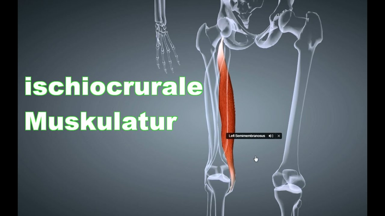 M. Ischiocrurale Beinbeuger: Ansatz, Ursprung, Funktion, Körperübung ...
