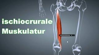 M. Ischiocrurale Beinbeuger: Ansatz, Ursprung, Funktion, Körperübung, Dehnungsübung B-Lizenz Prüfung