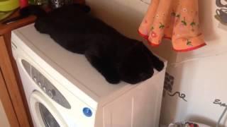 Кот(Шелдон) и стиральная машина