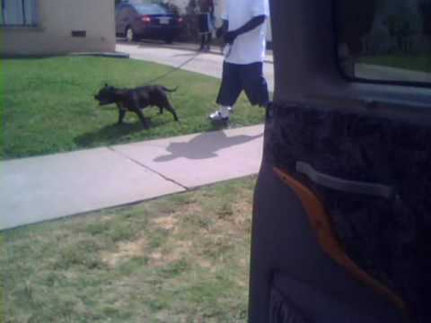 Pitbull In The Hood 5 28 09 You