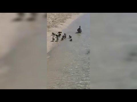 Salento, mamma papera e i suoi pulcini in spiaggia: lo stupore dei bagnanti