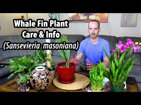 Caring For A Whale Fin Plant (Sansevieria Masoniana)