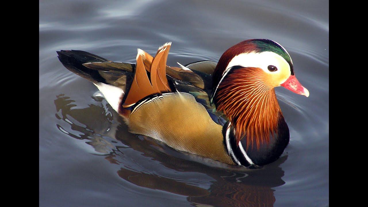 duck videos duck videos for children duck videos for kids