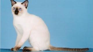 Тонкинез, или тонкинская кошка (Tonkinese cat) породы кошек( Slide show)!
