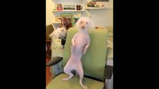 Китайская хохлатая собака танцует под Мадонну