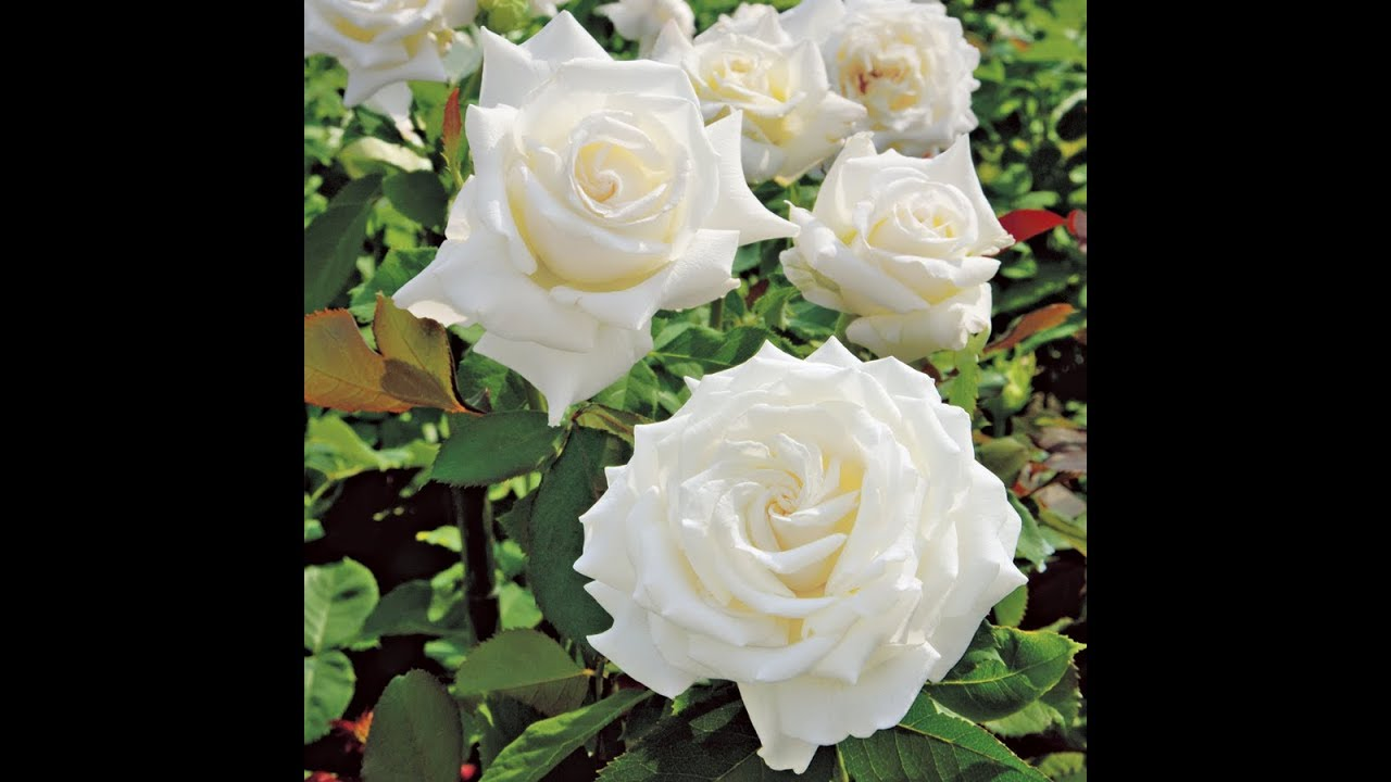 White colour roses. - YouTube