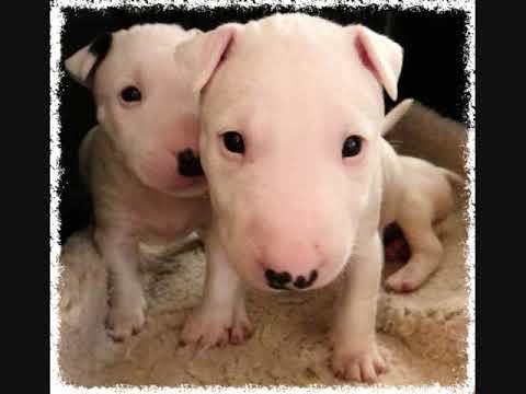 Miniature Bull Terriers - 4 Weeks Old