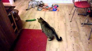 Der gefährlichste Feind der Katze: DIE GURKE! - The dangerous cucumber