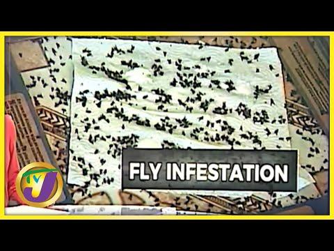Fly Invasion in Rosen St. Mary Jamaica   TVJ News - Oct 5 2021