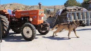TRAKTÖR ÇEKEN TÜRK ASLANI ( Gerçekten Traktörü Çekti ) Kangal, Malaklı, Akbaş Strongest Dogs