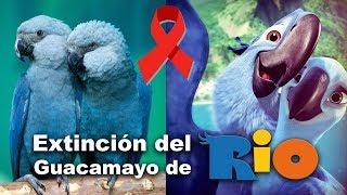 Guacamayo de Río se Extingue