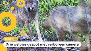 Voor het eerst in 200 jaar wolvenwelpjes geboren in Nederlandse natuur