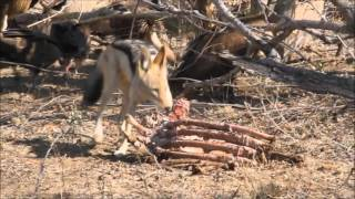 Lion kill - the scavengers move in...