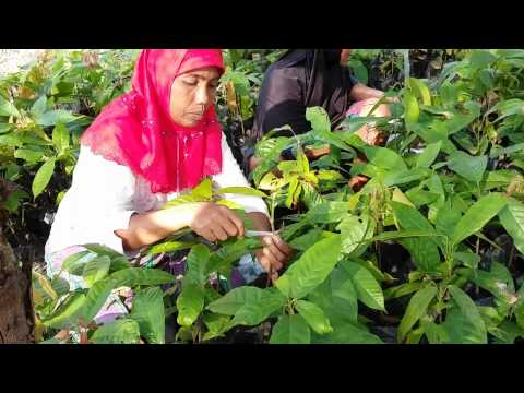 Top Grafting with superior cocoa