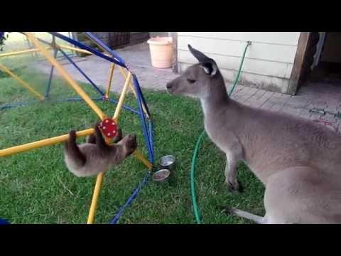Baby Sloth meets his big brother Kangaroo