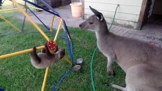 「もーし、もーし」とカンガルーを誘惑するナマケモノ