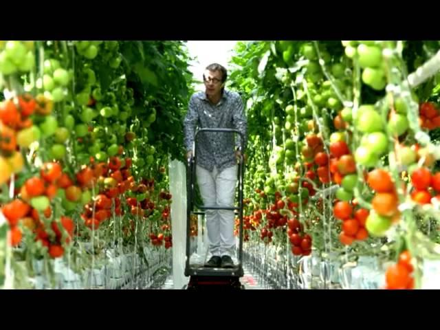 Tomates : pourquoi et comment les cultive-t-on sous serre ? - YouTube